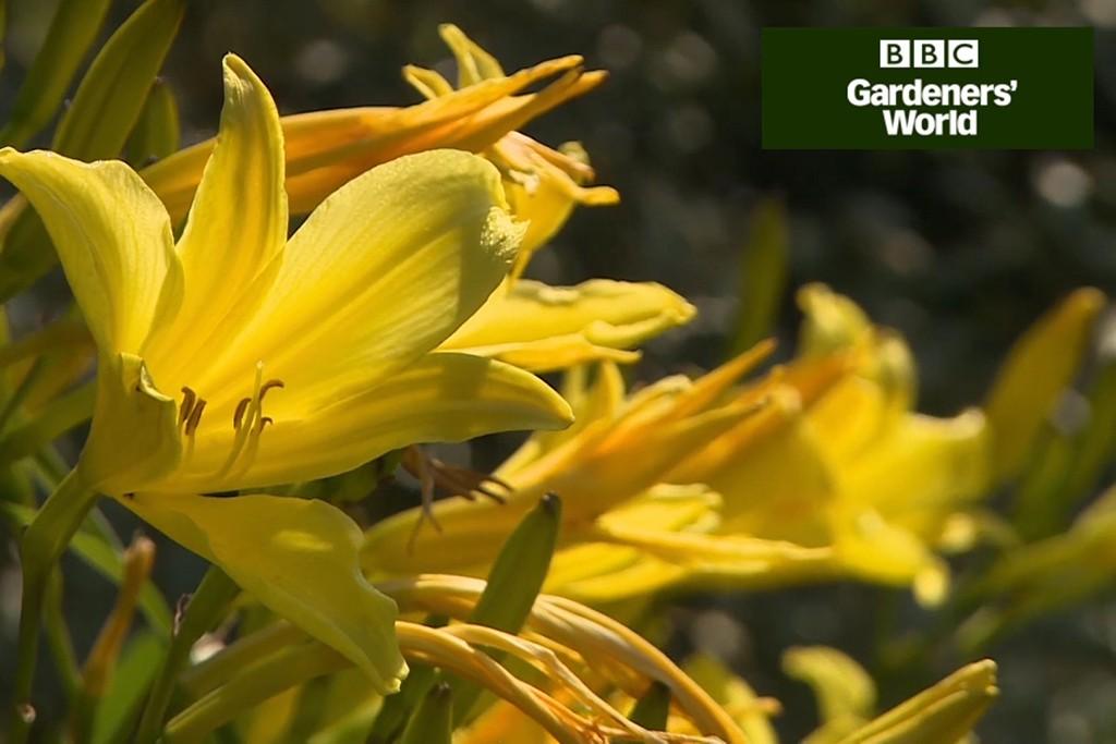 Hemerocallis flowers