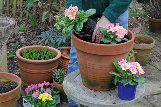Adding pink primroses to the container