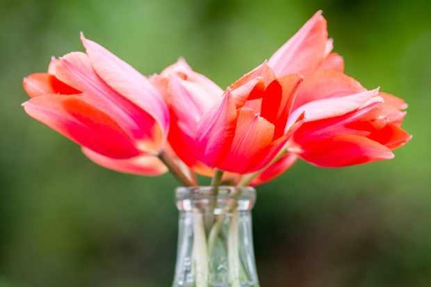 tulip-temples-favourite-2
