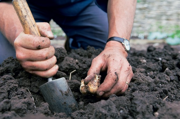 planting-daffodil-bulbs-3