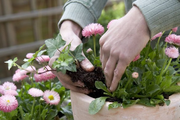 Planting the ivy around the bellis daisies