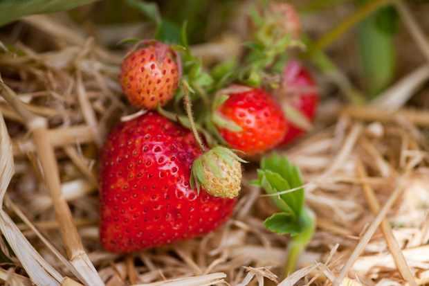 strawberry-royal-sovereign-2