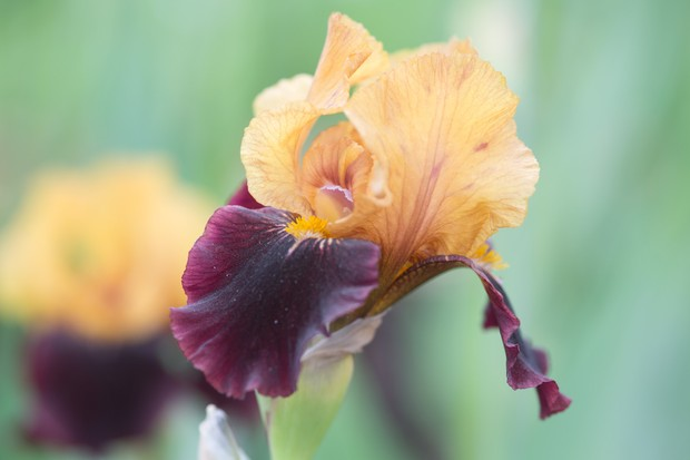 Iris 'Orageux': copper-coloured standards and deep red falls