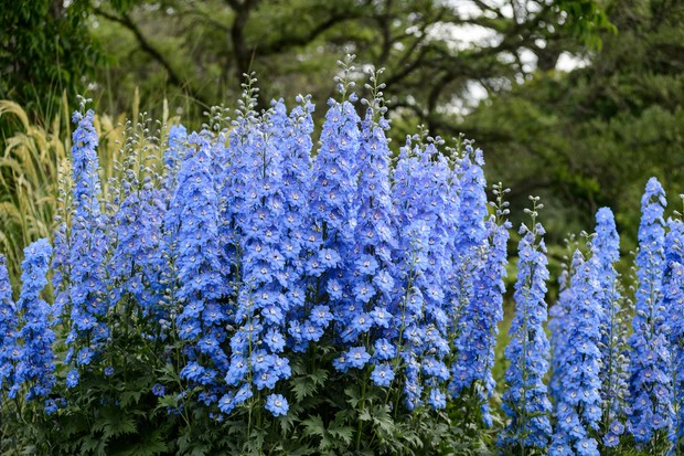 Tall blue delphiniums