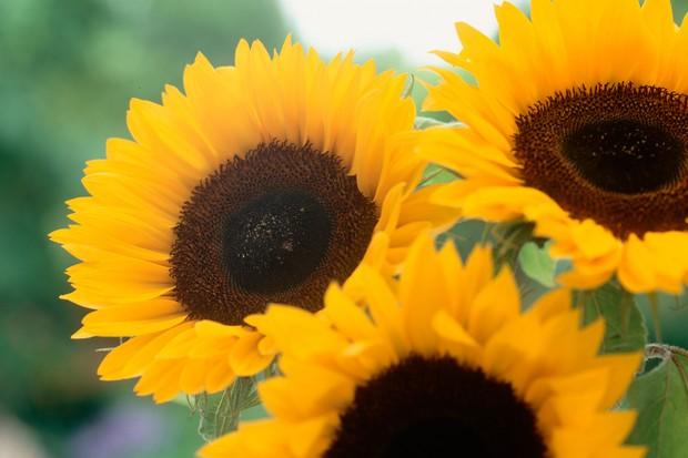 yellow-sunflowers-2