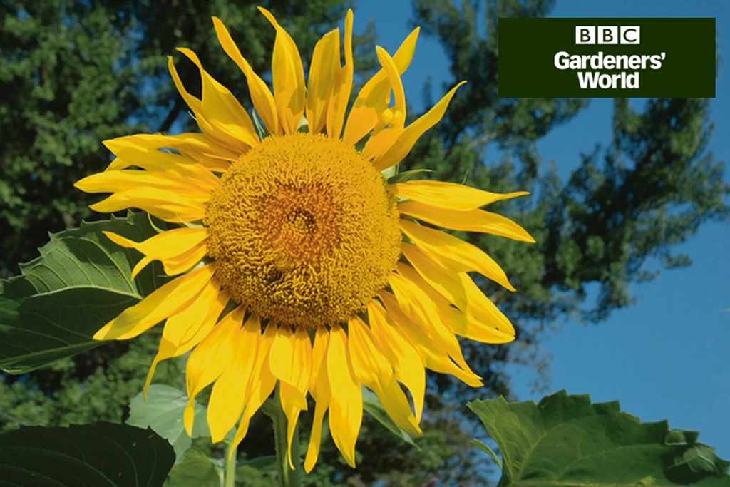 Monty Don's giant sunflower trial part one video