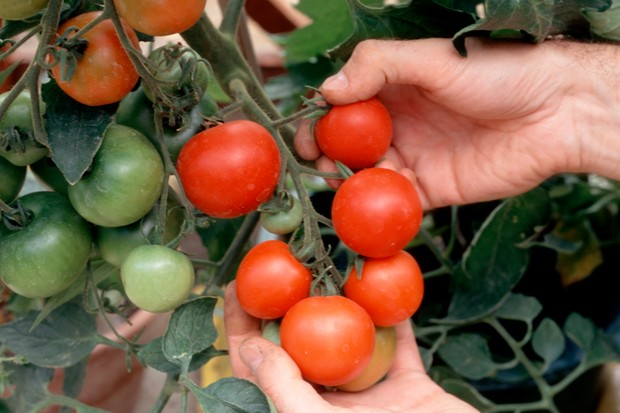 A heavy yield of salad tomato 'Moneymaker'