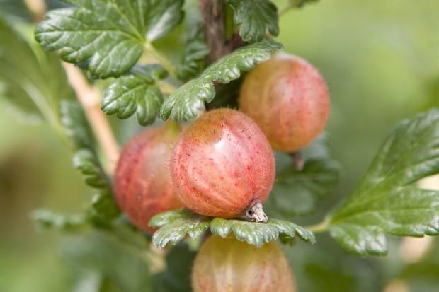 Rosy ripe gooseberries