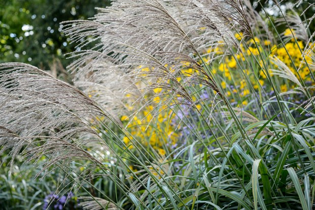 Tall miscanthus grasses in bloom