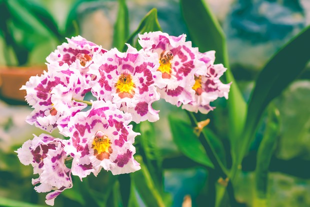 odontoglossum-orchid-credit-getty-images-4