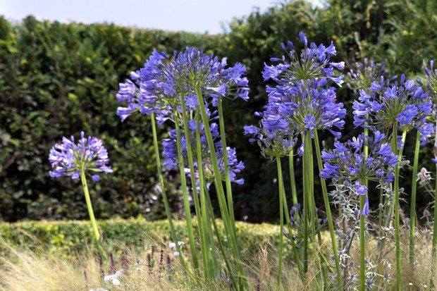 Tall blue flowerheads of agapanthus
