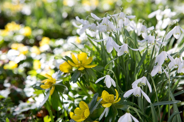White snowdrops and yellow winter aconite flowers