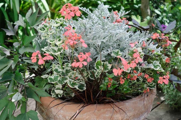 pelargonium-ipomoea-diascia-and-senecio-2