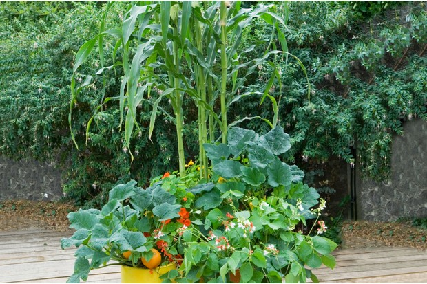 Sweetcorn growing in a container
