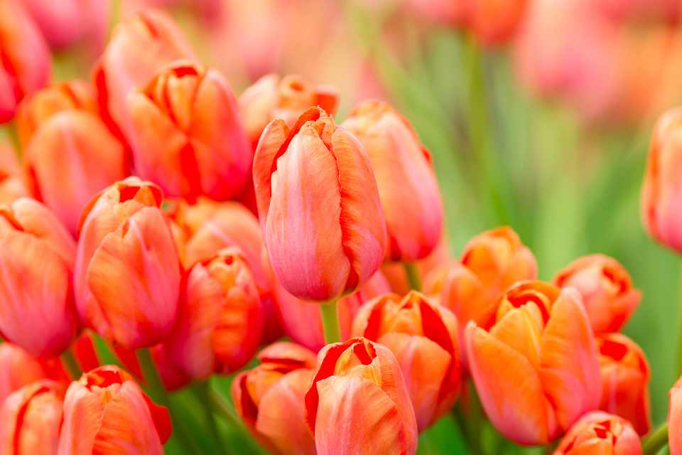 How To Grow Tulips Bbc Gardeners World Magazine