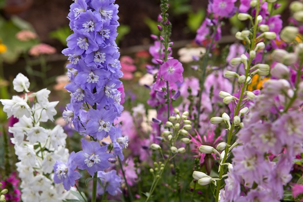 White, pink and violet delphinium blooms