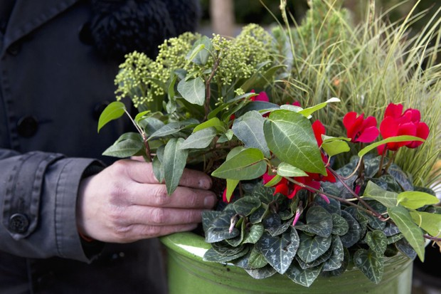 Cyclamen, carex, ivy and skimmia pot display - adding compost