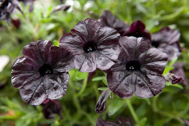 petunia-black-satin-2