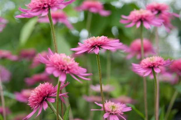 echinacea-southern-belle-6