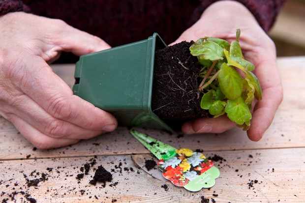 Planting begonia seedlings - removing the seedlings from the pot