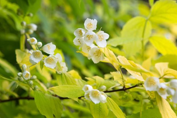 Cream flowers of Philadelphus coronarius 'Aureus'