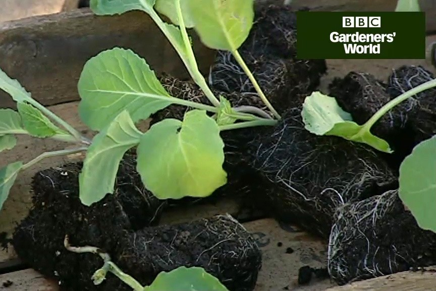 How to plant spring cabbages video