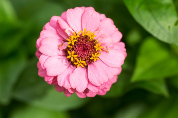 A double, pink flower of zinnia 'Sprite Mix'