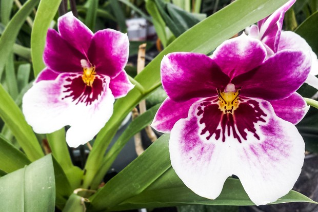 miltonia-orchid-credit-getty-images-6