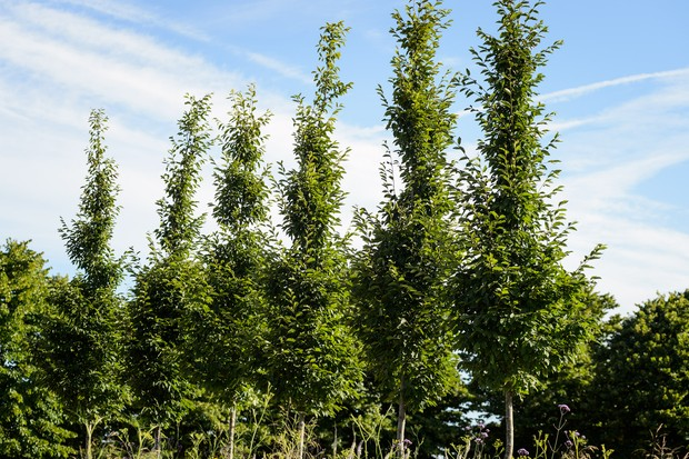 hornbeam-carpinus-betulus-fastigiata-2
