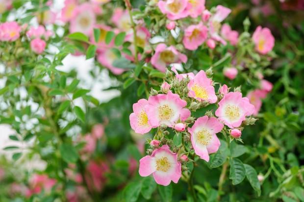 White-centered, pink blooms of Rosa 'Kew Rambler'