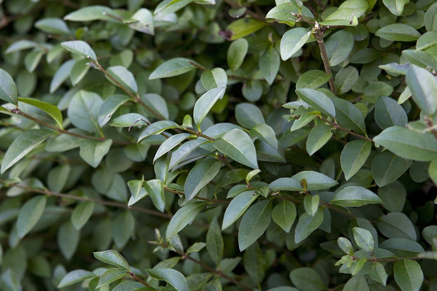 Will privet cope with hard pruning video