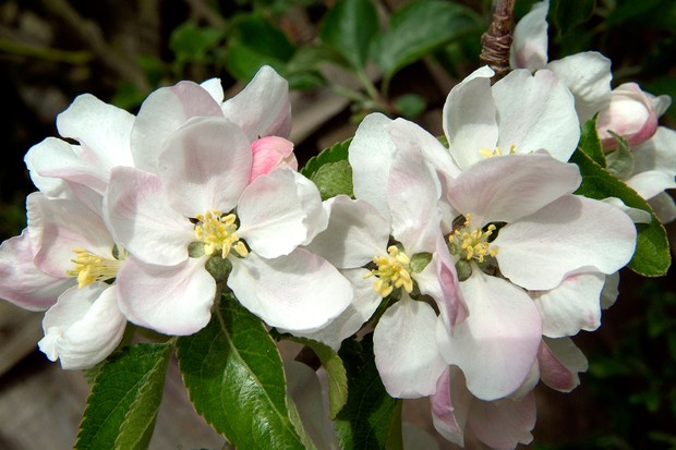 Pale-pink and white fruit tree blossom