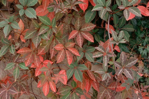 parthenocissus-henryana-9