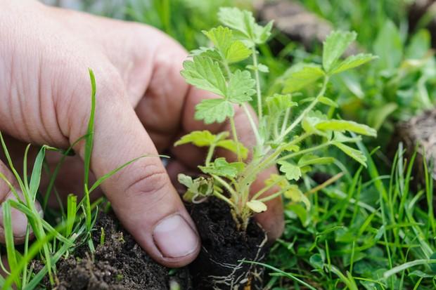 Planting a wildflower plug into a lawn