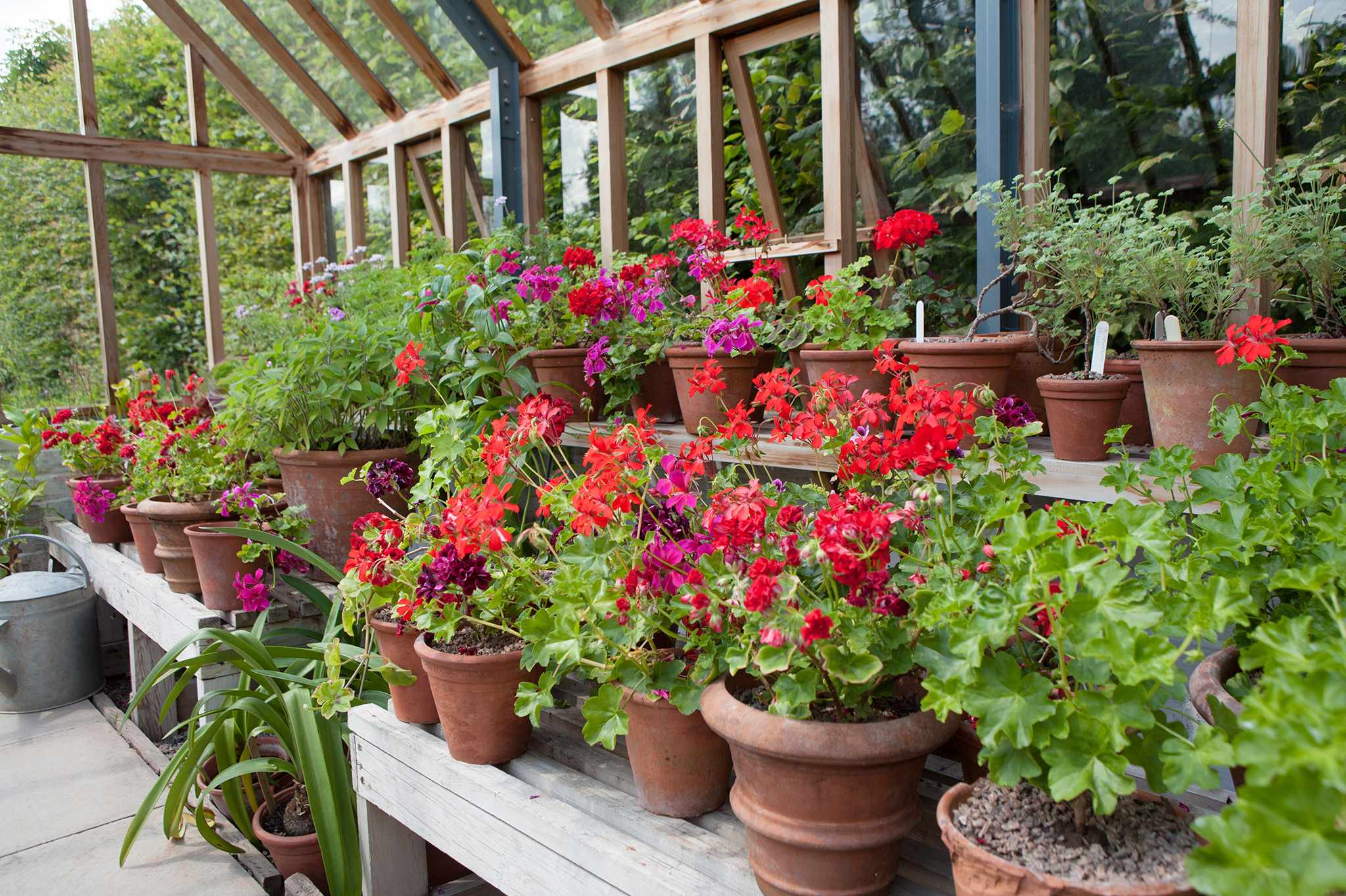 Monty Don's greenhouse and pelargonium collection