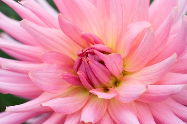 Yellow centered, pink bloom of semi-cactus dahlia 'Pink Preference'