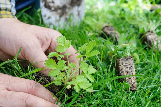 Planting wildflower plugs in a lawn