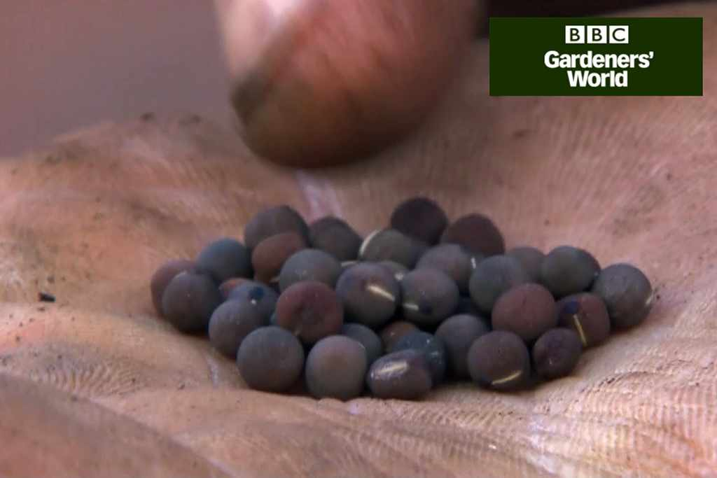 How to sow sweet peas in pots