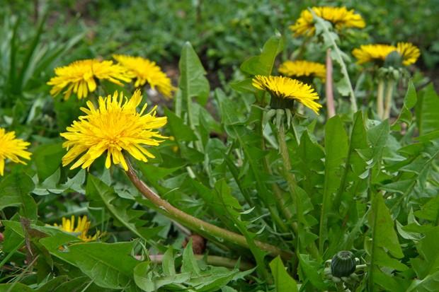Yellow-flowering dandelion plants
