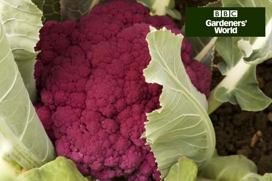 How to plant cauliflowers video