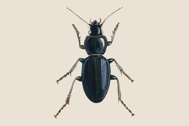 Black clock beetle (Pterostichus madidus) illustration