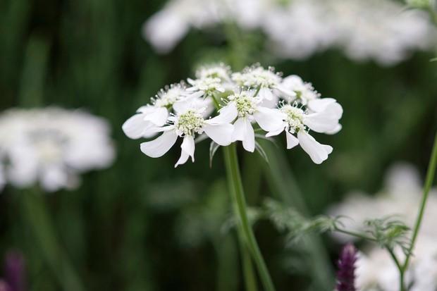 orlaya-grandiflora-11