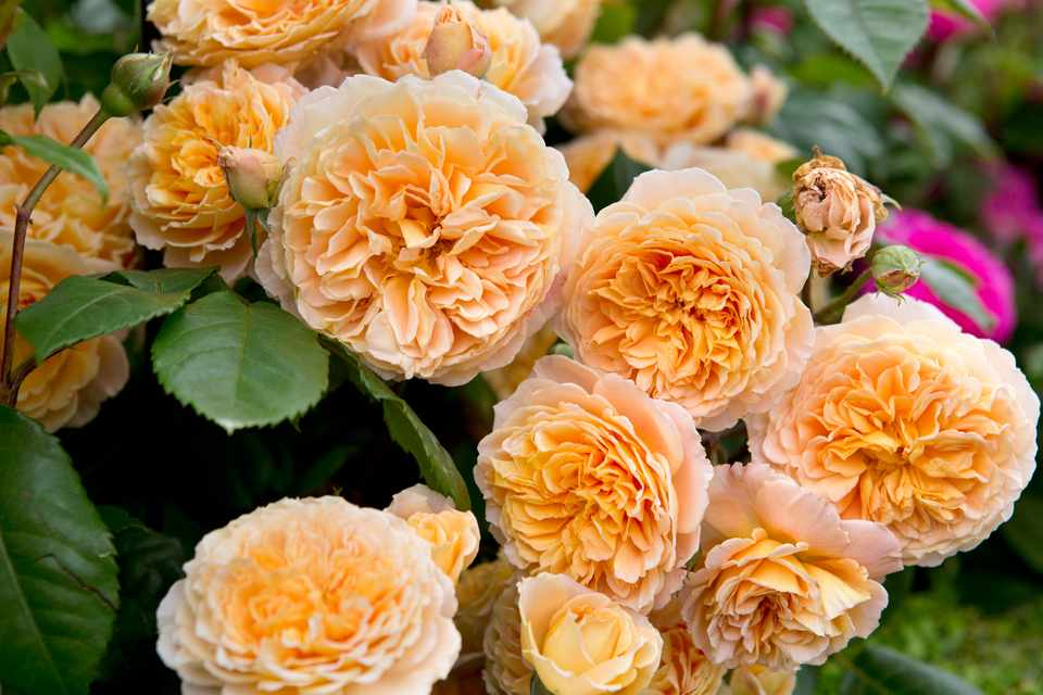 Climbing Roses To Grow In Pictures Gardenersworld Com Bbc