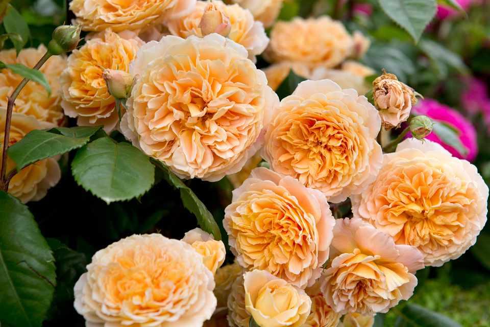 Mid-orange, ruffled blooms of rose 'Crown Princess Margareta'