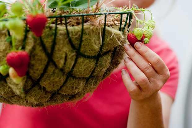 growing-strawberries-in-a-hanging-basket-2