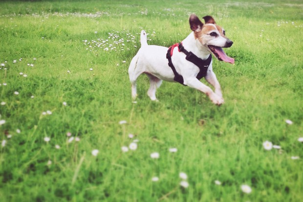 A Jack Russell wearing a harness running on grass (photo credit Getty Images)