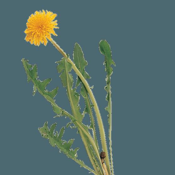 Dandelion leaves and flower