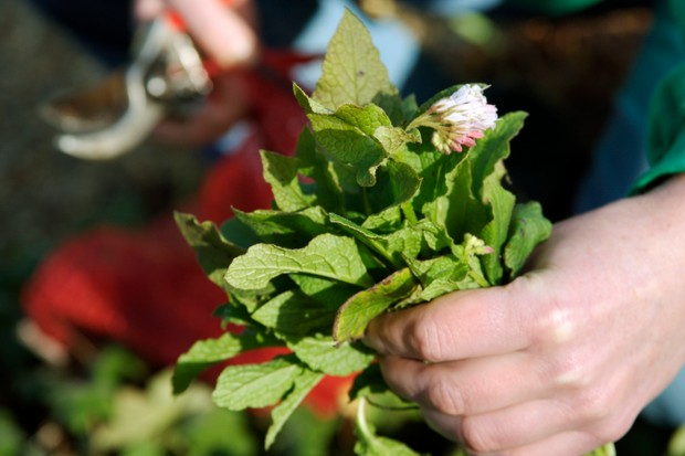 comfrey-leaves-in-hand-2