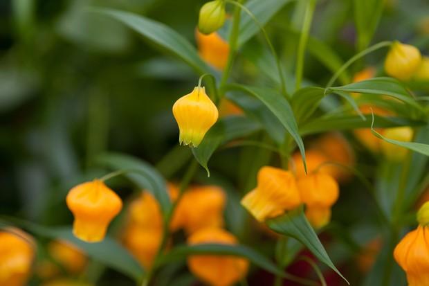 sandersonia-aurantiaca-flowers-2