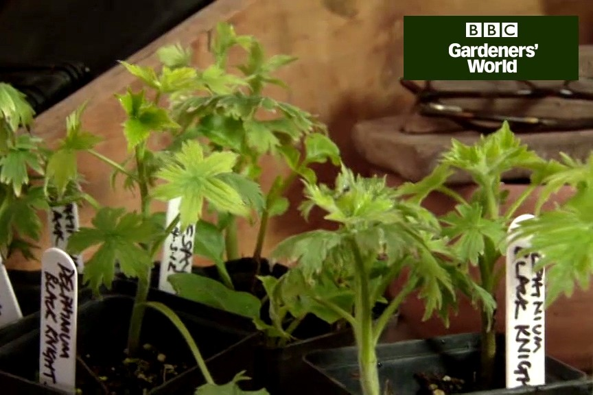 How to pot on rooted delphinium cuttings